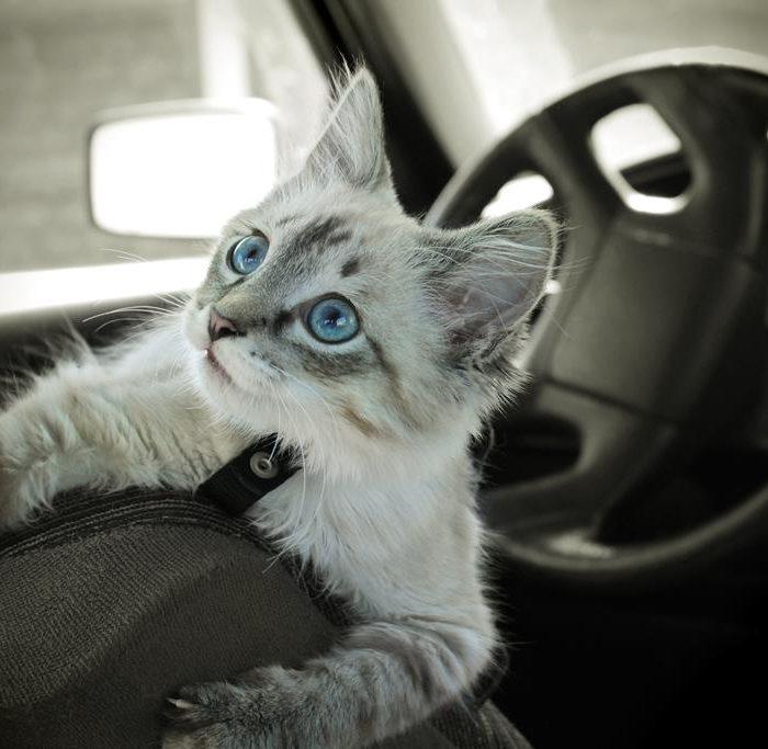 Gatos que viajan en vehículo