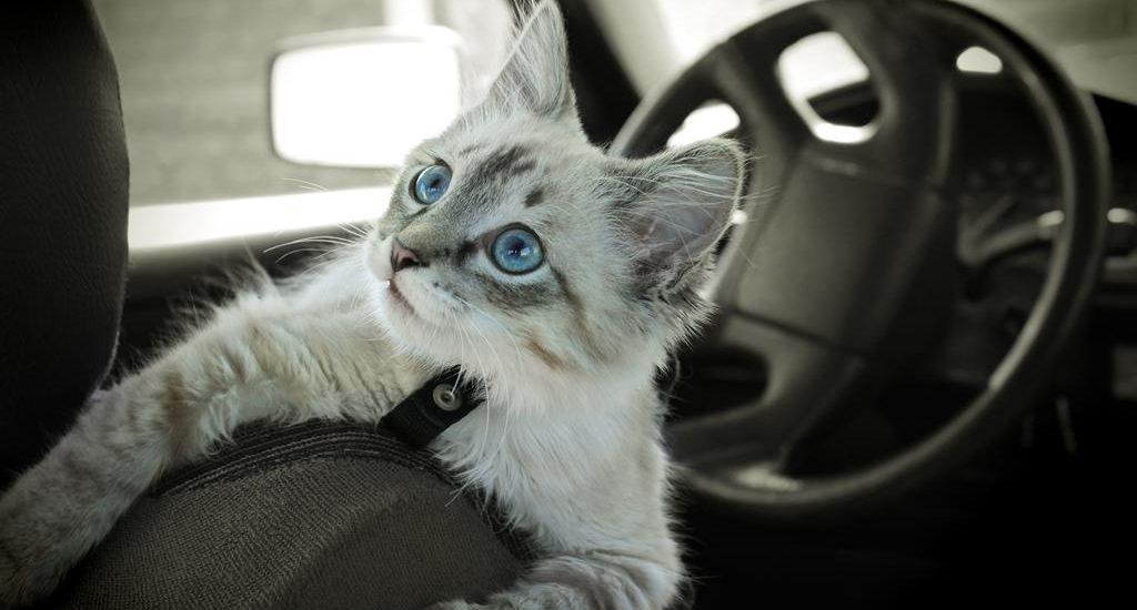 Коты-автопутешественники